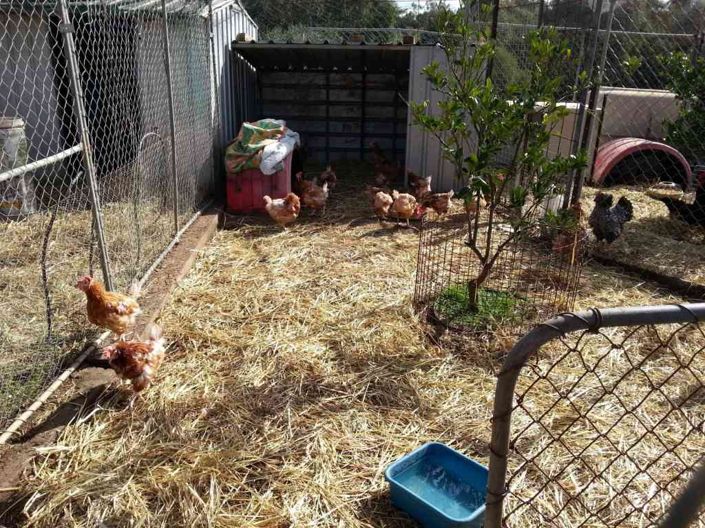 backyard chicken keeping course kicks off in the city of swan