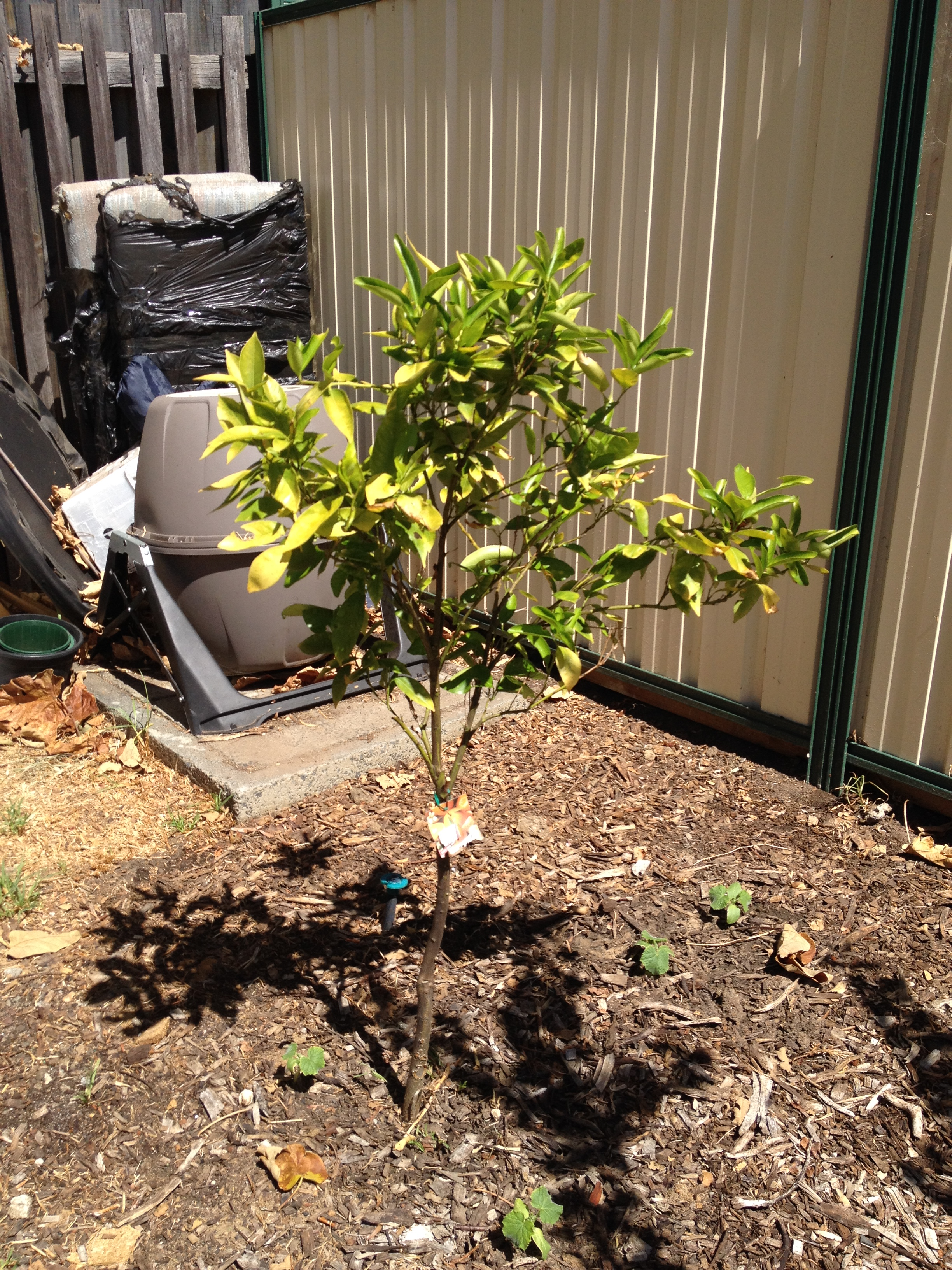 Each peach, pear, plum…. How to prune fruit trees | Transition Town ...